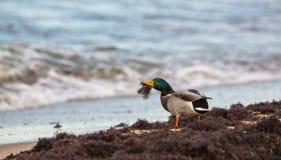 Pato selvagem masculino no mar Báltico Fotos de Stock