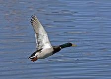 Pato selvagem masculino no vôo Imagem de Stock Royalty Free