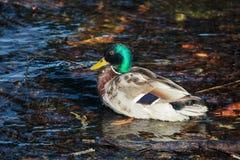 Pato selvagem masculino ou pato selvagem Fotos de Stock Royalty Free