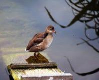 Pato selvagem na escada de madeira Fotografia de Stock