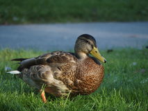 Pato selvagem na grama Imagens de Stock