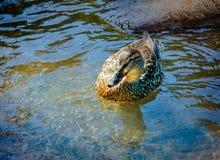 Pato selvagem na natureza fotografia de stock