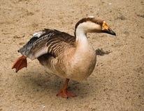 Pato selvagem no jardim zoológico Foto de Stock Royalty Free