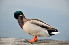 Pato selvagem no lago Imagens de Stock Royalty Free