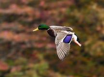Pato selvagem no momento Fotos de Stock Royalty Free