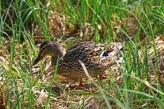 Pato selvagem no pleso de tarn Vrbicke foto de stock