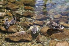 Pato selvagem no pleso de tarn Vrbicke Fotos de Stock Royalty Free