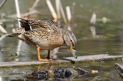 Pato selvagem, nos reservatórios da cidade fotografia de stock royalty free