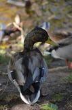 Pato selvagem perto do lago Foto de Stock
