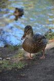Pato selvagem perto do lago 2 Foto de Stock