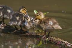 Pato selvagem (platyrhynchos dos Anas) Fotos de Stock Royalty Free