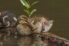 Pato selvagem (platyrhynchos dos Anas) Imagem de Stock