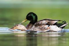 Pato selvagem, pato, platyrhynchos dos Anas - cópula fotografia de stock royalty free