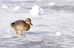 Pato selvagem que anda na água congelada no inverno Imagens de Stock Royalty Free
