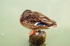 Pato selvagem que descansa no log Imagens de Stock