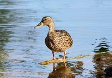 Pato selvagem que está em uma filial de uma árvore na água Foto de Stock