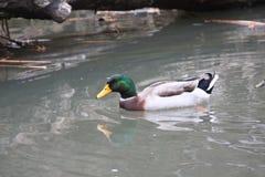 Pato selvagem solitário Foto de Stock Royalty Free