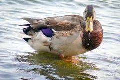 Pato severo del varón adulto drake Pato macho hermoso en el agua foto de archivo