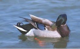 Pato silvestre Fotos de archivo libres de regalías
