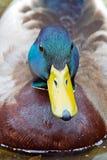 Pato silvestre foto de archivo
