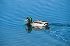 Pato silvestre Imagen de archivo libre de regalías