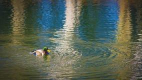 Pato silvestre Imagenes de archivo