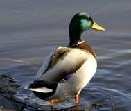 Pato silvestre Imagen de archivo