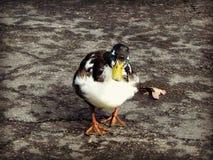 Pato silvestre Bibbed de Duclair Fotografía de archivo