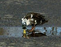 Pato silvestre Bibbed observado azul de Duclair Foto de archivo libre de regalías