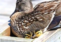 Pato silvestre con los anadones Imagen de archivo libre de regalías