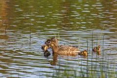Pato silvestre con los anadones foto de archivo libre de regalías
