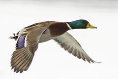 Pato del pato silvestre Imágenes de archivo libres de regalías