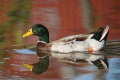 Pato silvestre de la caída Imagen de archivo libre de regalías