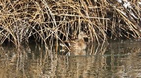 Pato silvestre de la gallina Imagen de archivo libre de regalías