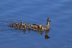 Pato silvestre de la madre y su familia imagen de archivo libre de regalías