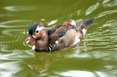 Pato silvestre de la natación Fotografía de archivo libre de regalías