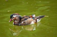 Pato silvestre de la natación Imagen de archivo libre de regalías