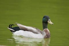 Pato silvestre de la natación Fotos de archivo libres de regalías
