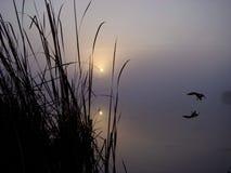 Pato silvestre de la salida del sol Imagen de archivo libre de regalías