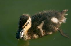 Pato silvestre del bebé Fotos de archivo