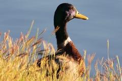 Pato silvestre del pato de lagos Ashburn Foto de archivo