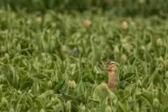Pato silvestre del escondite foto de archivo libre de regalías