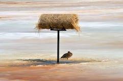 Pato silvestre del invierno Imagen de archivo