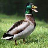 Pato silvestre del pato Fotografía de archivo libre de regalías
