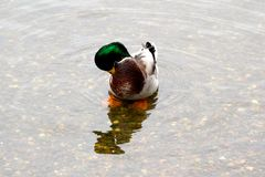 Pato silvestre Drake Fotos de archivo