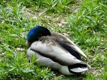 Pato silvestre Drake Sleeping fotos de archivo