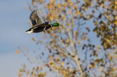 Pato silvestre Duck Flying Past Autumn Trees Imagenes de archivo