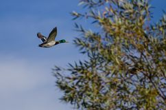 Pato silvestre Duck Flying Past Autumn Trees fotos de archivo libres de regalías