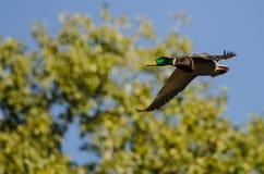 Pato silvestre Duck Flying Past Autumn Trees imagen de archivo libre de regalías