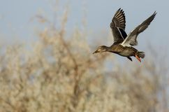 Pato silvestre Duck Flying Past Autumn Trees imagen de archivo